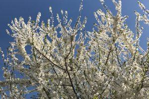 Die Natur explodierte regelrecht mit einem Blütenfeuerwerk angesichts der Frühlingswärme
