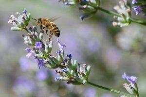 """""""echter"""" blühender Lavendel am Monatsende - für die Bienen heuer ein"""