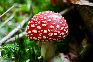 Erst Ende September mit kühler Luft und ein wenig Regen wagten sich die Pilze aus dem Boden. Foto: Hans-Martin Goede