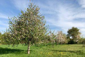 Ende April kam der Vollfrühling mit blühenden Obstbäumen. Foto: Hans-Martin Goede